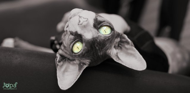 about_sphynx_01